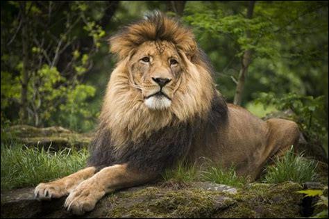 Lesquelles de ces sous-espèces de lion ont disparu du globe ? (par notre faute bien souvent…)