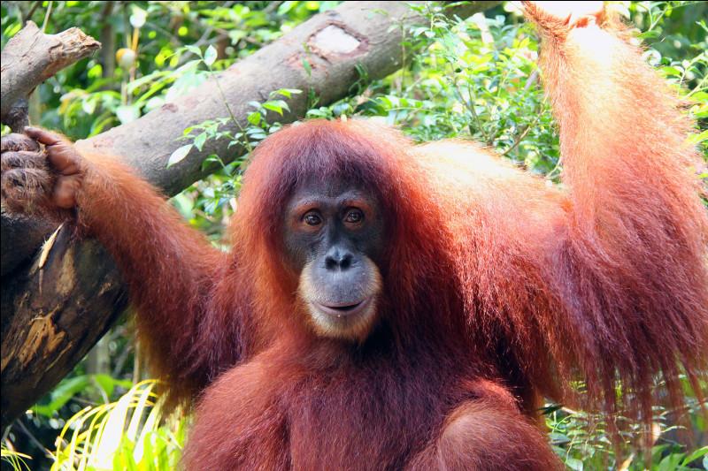 Sur quelles îles peut-on voir un orang-outan (signifiant homme de la forêt) ?