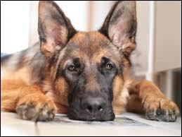 Combien de chiens ont joué le rôle de Rex dans la série policière du même nom ?