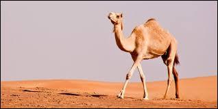 Que contiennent les bosses des dromadaires et des chameaux ?
