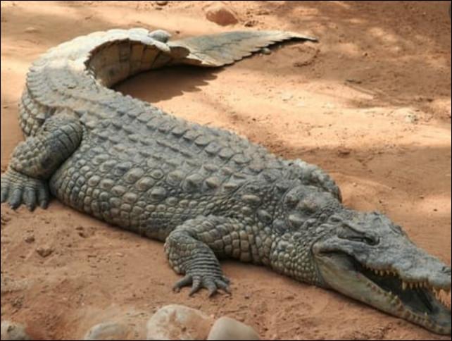 Combien pèse un crocodile du Nil ?