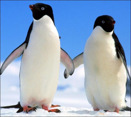 Combien pèse un petit pingouin ?