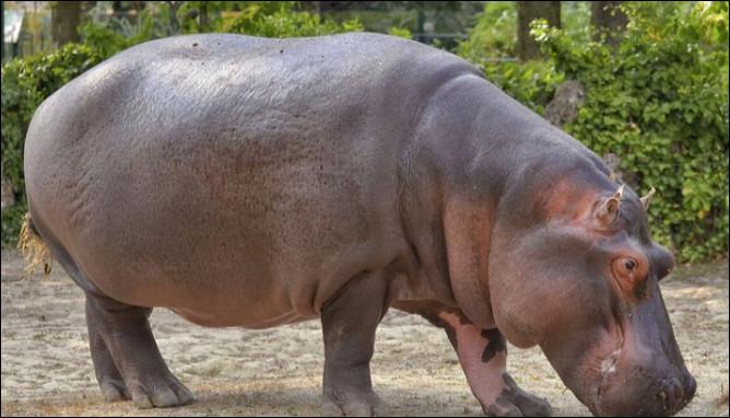 Quelle est l'espérance de vie d'un hippopotame ?