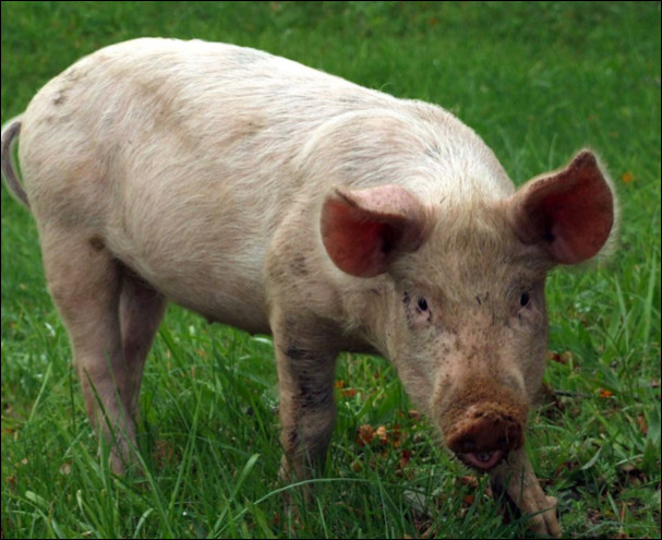 Quel est le poids d'un porc ?