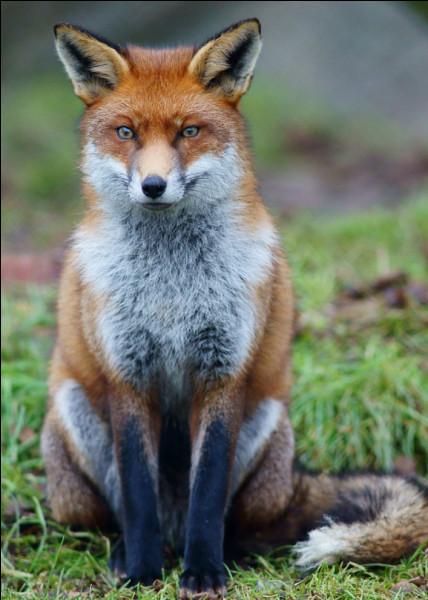Quelle est la vitesse d'un renard ?