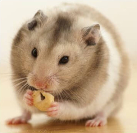 Combien de petits le hamster peut-il mettre au monde en même temps ?