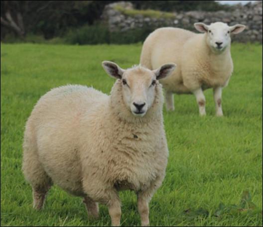Quel est le poids d'un mouton femelle ?