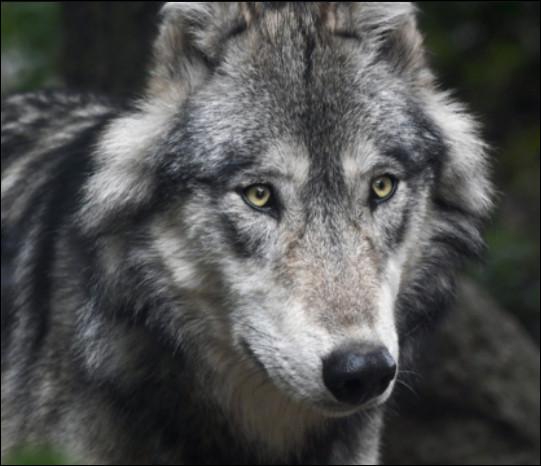 Quelle est la taille d'un loup ?