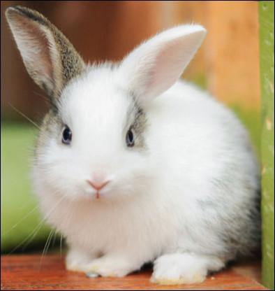 Combien pèse un lapin ?