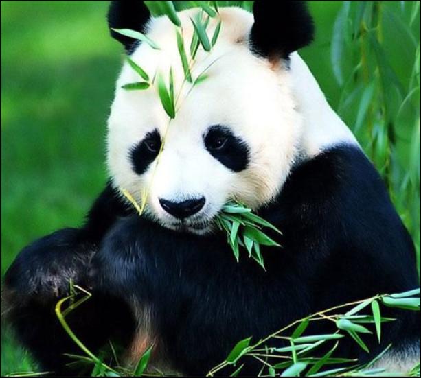 Combien de temps dure la gestation chez le panda ?