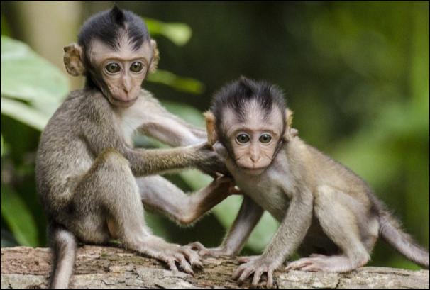 Combien pèse un singe ?