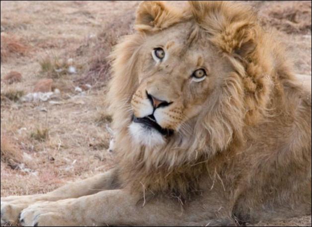 Jusqu'à combien de kilomètres par heure peut atteindre le lion ?