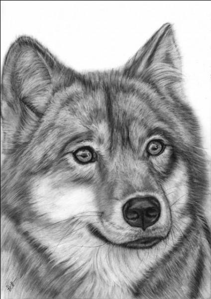 Il y a beaucoup de loups...