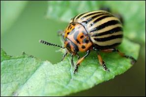 Le doryphore est une espèce d'insectes de l'ordre des :