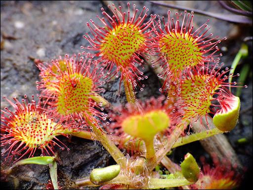 Cette plante carnivore est-elle une dionée ou une droséra ?