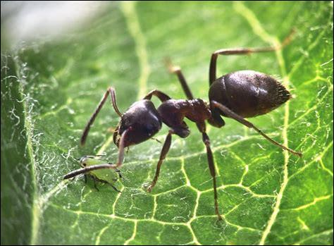 Comment les fourmis font-elles pour survivre en cas d'inondation ?
