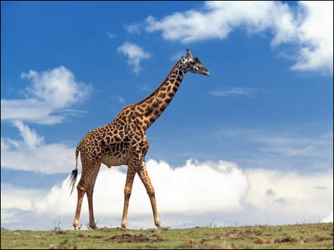 De quelle couleur est la langue d'une girafe ?