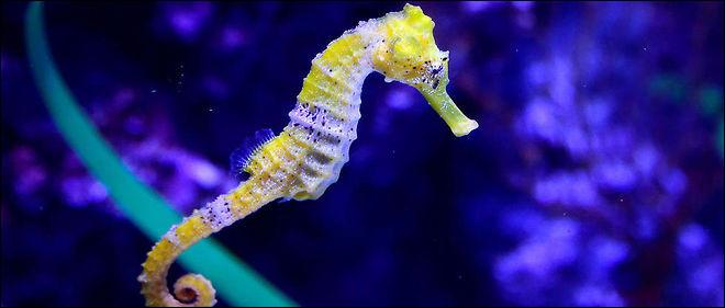 L'hippocampe est un poisson :