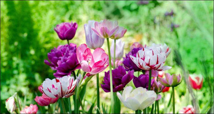 """Comment dit-on """"tulipe"""" en anglais ?"""