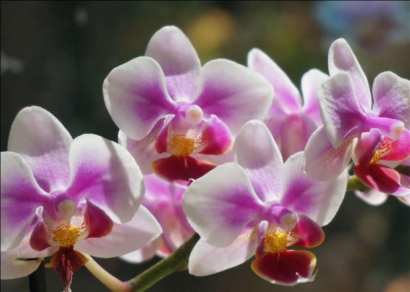 """""""Orchidée"""" se dit..."""