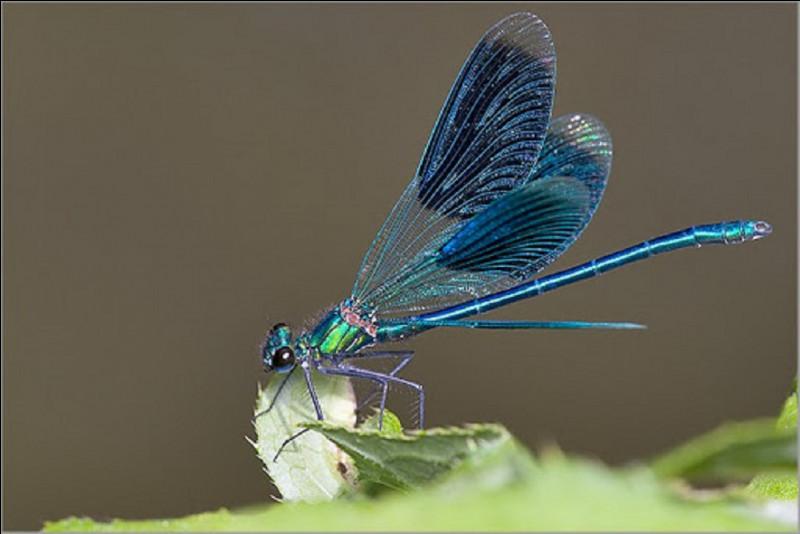 Que font les libellules femelles pour échapper aux avances des mâles un peu trop insistants ?