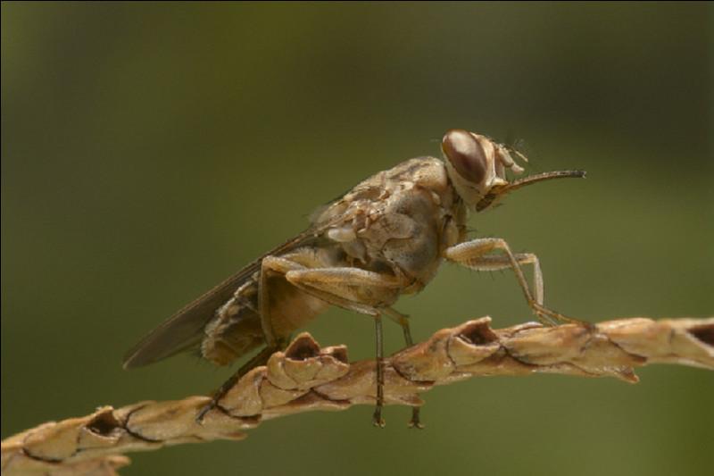 Quelle maladie la mouche tsé-tsé peut-elle transmettre ?