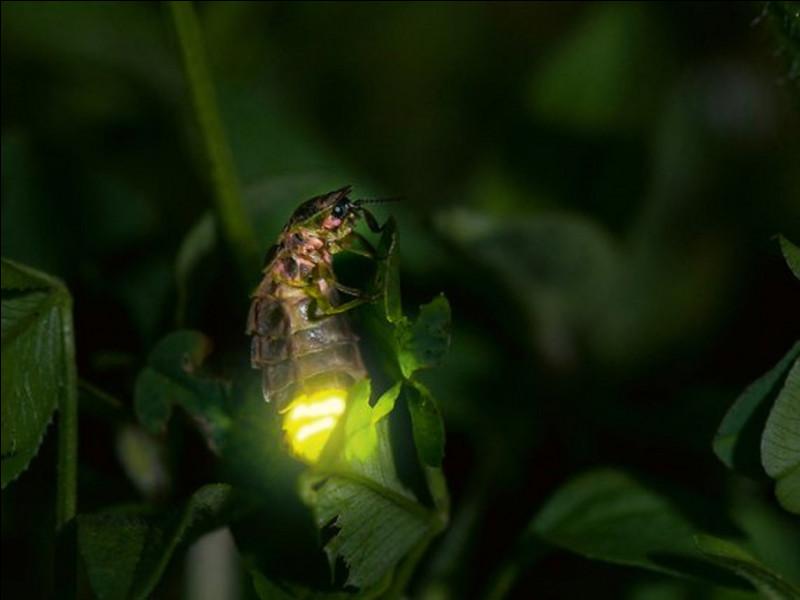 Qui luit, chez les lucioles (ou lampyres) ?