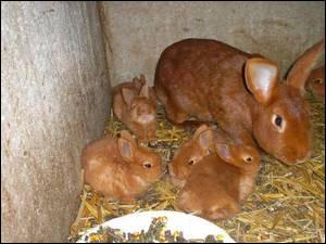 Et enfin, quel est le temps de gestion de la lapine ?