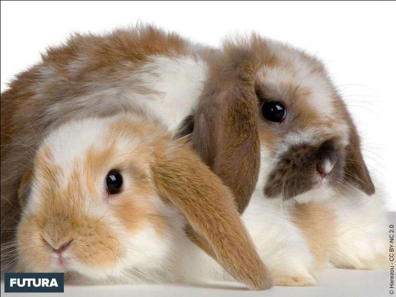 Question assez simple pour débuter. De quelle famille est le lapin ?