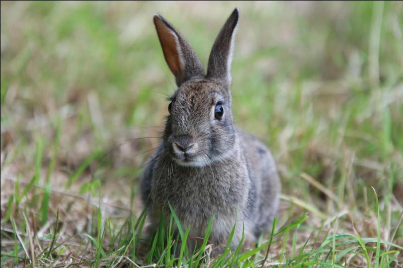 Question sur la durée de vie, combien de temps vit un lapin à l'état sauvage ?