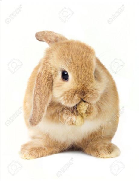 On reprend les questions faciles. Quelle est la femelle du lapin ?