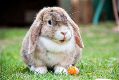 On va faire des questions sur les races de lapins ! Quelle est cette race ?