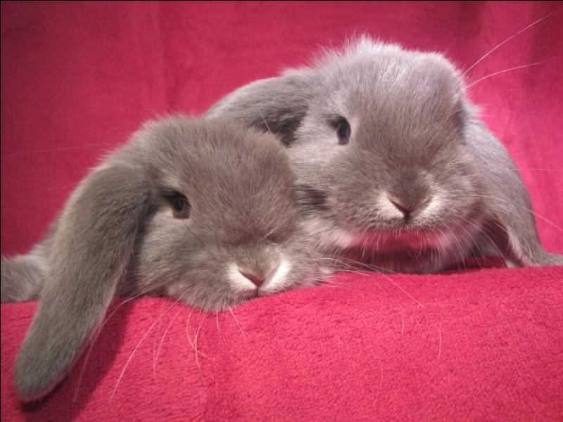 Quels sont les aliments qui représentent les lapins ?