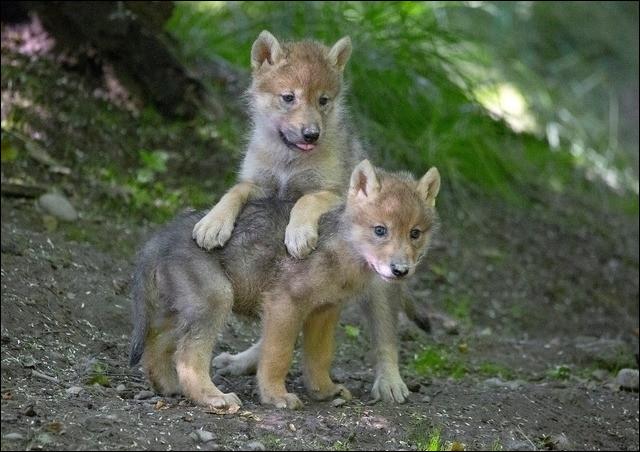 Quel indien Quileute de la saga Twilight peut se transformer en loup ?