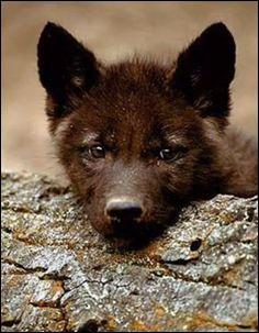 Complétez le proverbe : Pendant que le loup ..., la brebis au bois ... !