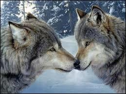 """Que signifie l'expression """"Il y a un loup"""" ?"""