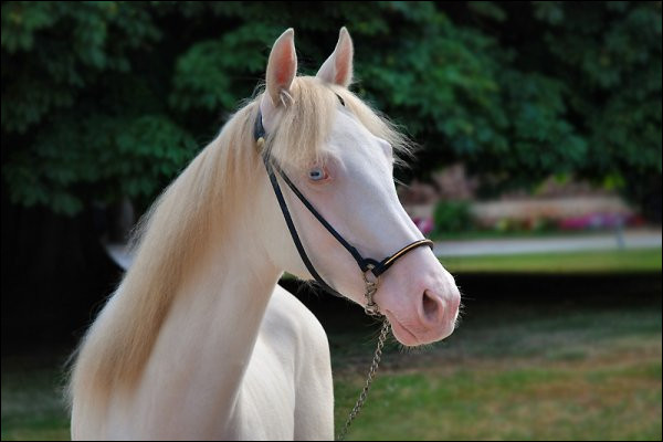 Comme les humains, les chevaux ont parfois un œil marron et un œil bleu.