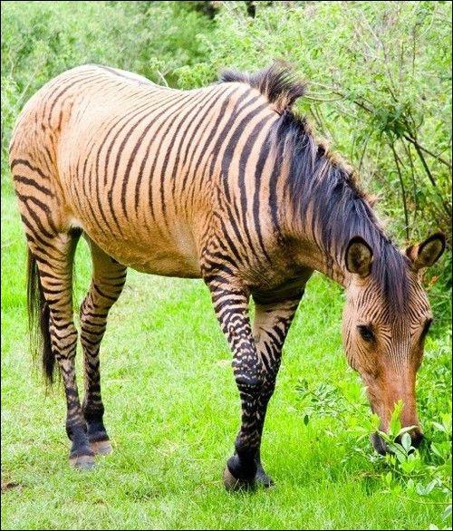 Le zébrule est un hybride issu du croisement d'un cheval et d'une zébrelle.
