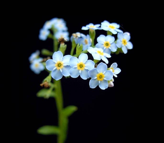 """Quelle petite fleur bleue a un nom qui signifie """"oreille de souris"""" en grec ?"""