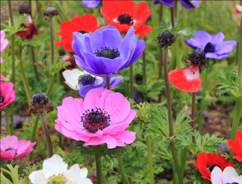 """Quelle renonculacée tire son nom du grec signifiant """"vent"""", car ses fleurs s'ouvrent au vent ?"""