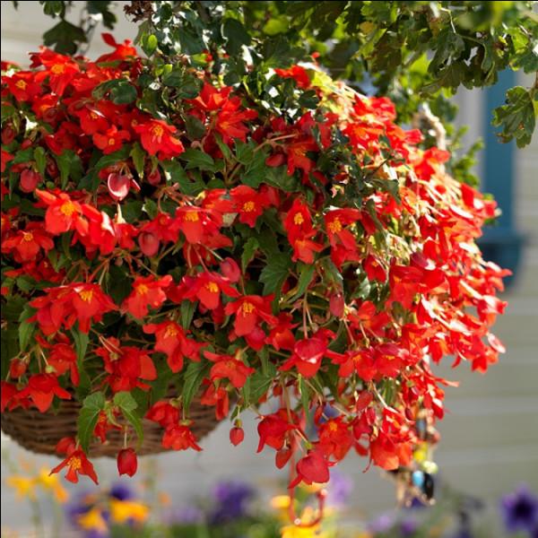 Quelle fleur d'Amérique tropicale, a été baptisée en l'honneur d'un intendant de Saint-Domingue du XVIIe siècle ?