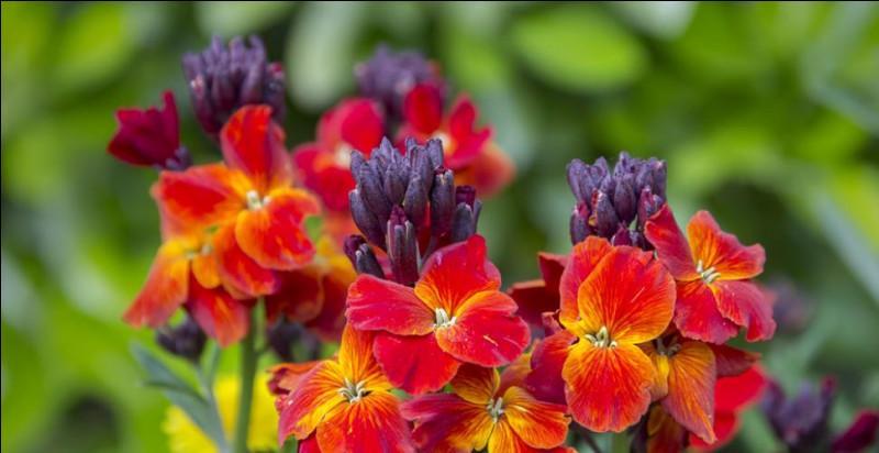 Quelle plante doit son nom au fait que ses fleurs ont l'odeur des clous de girofle ?