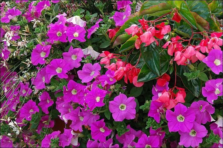 """Quelle fleur de la famille des solanacées, tire son nom d'un mot ancien signifiant """"tabac"""" ?"""