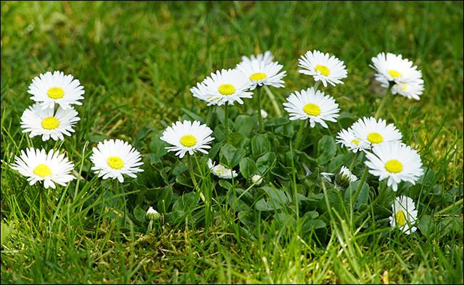 Quelle petite fleur, au cœur jaune, doit son nom au fait qu'elle fleurit vers Pâques ?