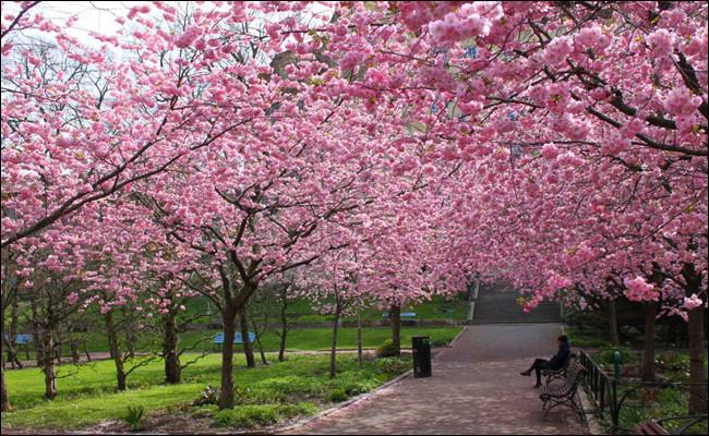 Vous retrouverez certainement cet arbre au Japon, quel est son nom ?