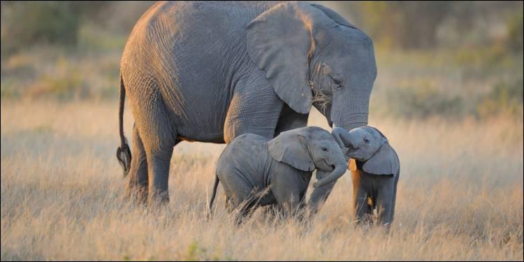 Les éléphants peuvent mourir....