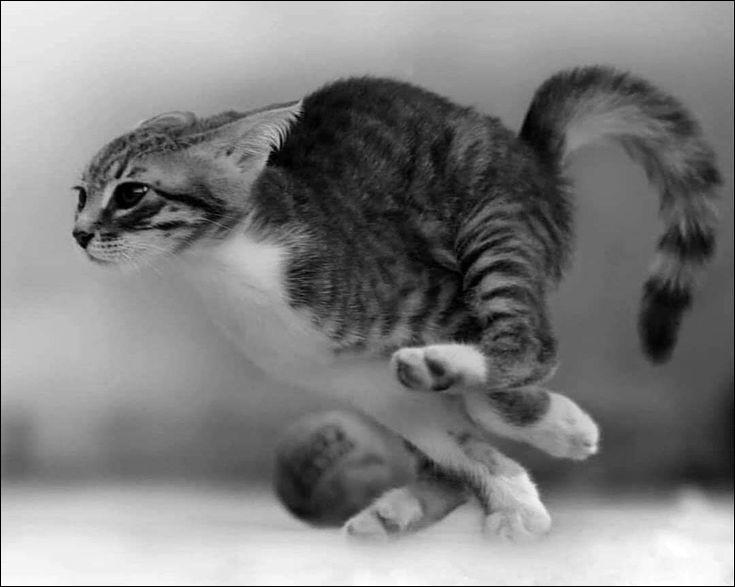 En 9 secondes, un chat domestique peut courir jusqu'à...