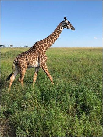 La girafe a une particularité qu'aucun autre animal au monde ne possède...