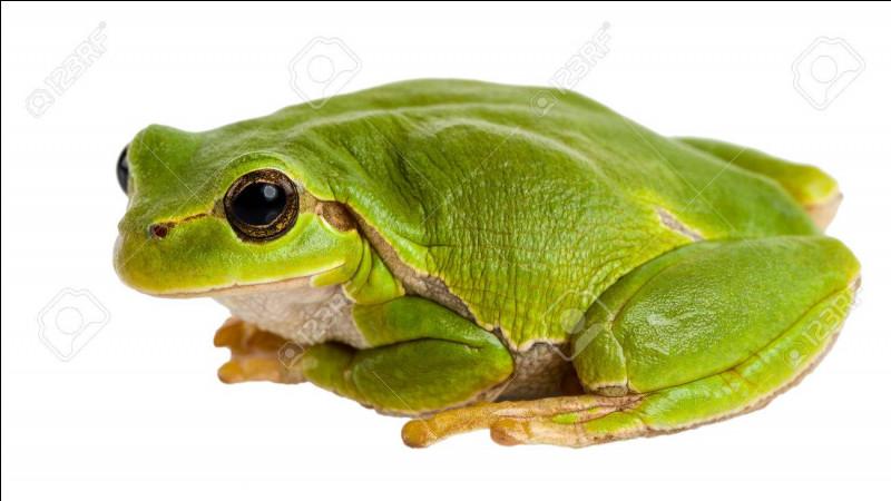 La grenouille a elle aussi une particularité...