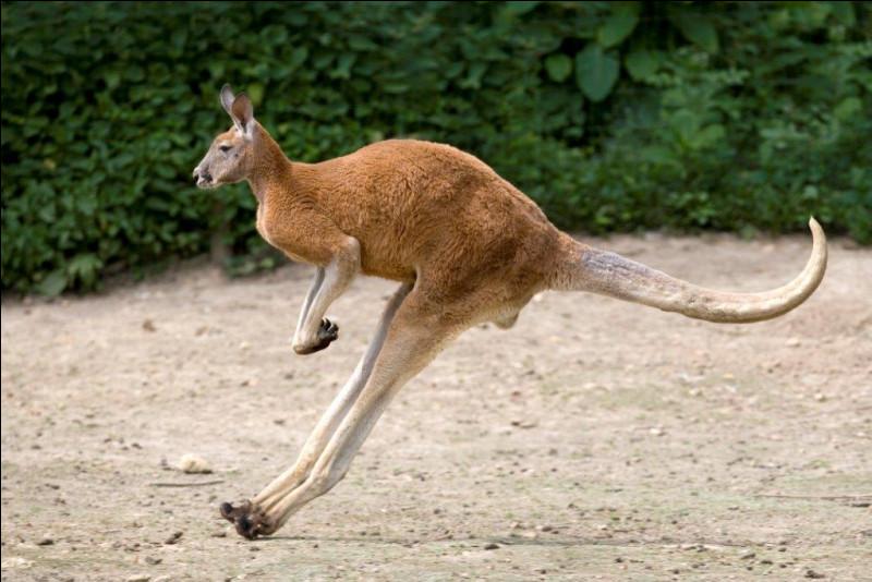 Le kangourou se sert de sa queue pour sauter.